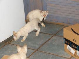 Katzen - Golden-Wildcat hat ALLE BABYS HABEN