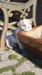 Old Englisch Bulldog Welpen Oeb