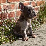 Französische Bulldoggen Hündin Welpe geboren