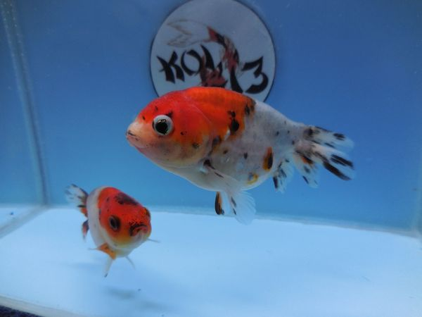 KOI 13 Anz 97 2020 Goldfisch -