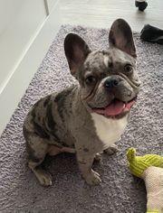Französische Bulldogge Rüde Blue Merle