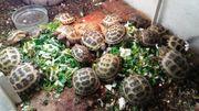 Vierzehen Landschildkröten Russische Landschildkröten