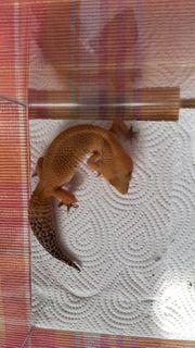 Leopardgecko SHTCTB 0 1