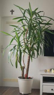 Palme Blume Pflanze Blumentopf Yuccapalme