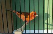 Stieglitz x Kanarienvogel