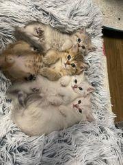 4 BKH Kitten mit Stammbaum