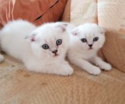 Scottish Fold BKH Kitten Silver