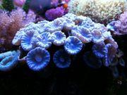 Caulastrea ca 15 Polypen Koralle