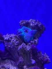Blaue Scheibenanemonen Discosoma Meerwasser Korallen