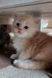 Maine Coon Mix Kitten
