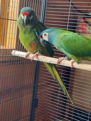 2 Ara Severus papagaien top
