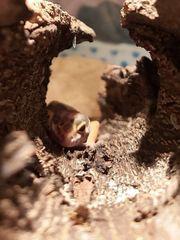 leopardgecko pärchen mit Terrarium