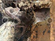Jemenchamäleon weibchen zu verschenken