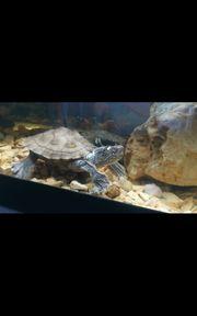 Höckerschildkröte sucht dringend neues zuhause