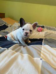 Französische Bulldogge Albino Rude