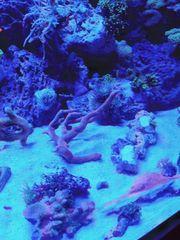 korallen Ableger auch Groß Meerwasser