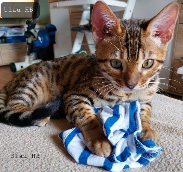 Reinrassige Bengal-Kitten sofort auszugsbereit