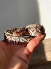 Königspython Python Regius Red Axanthic