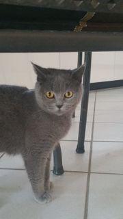 BKH Katze kastriert geimpft