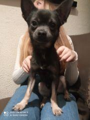 Hunde Chihuahua