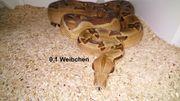 Boa constrictor imperator Hypo Jungle