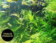 Guadeloupe Nixkraut Wasserpflanzen Versand Abholung
