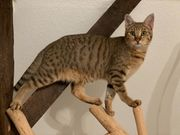 Zuchtkater Savannah F1 - Chausie Cat