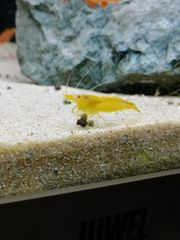 Yellow Fire Garnele - Gelbe Garnele -