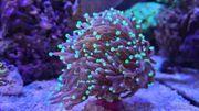 Top Verschiedene Meerwasser Korallen Ableger