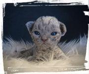 Devon Rex Kitten in blue