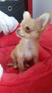 Mini Chihuahua Mädchen Sehr verspielt