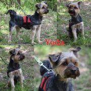 Yorkshire Terrier Männlein sucht Körbchen
