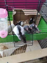 5 süße Rattenjungs