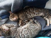 Bezaubernde Bengal kitten