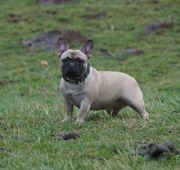 Ruhige Französische Bulldoggen Dame - kastriert