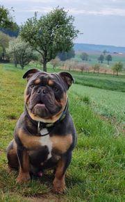 Englisch-Französische Bulldogge Rüde mit Ahnentafel