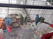 Sperling papagei