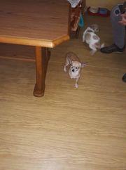 Hunde welpe Chihuahua