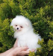 Zwei weiße Pomeranian Zwergspitzwelpen FCI