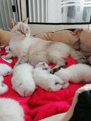 Reinrassige BKH Kitten-Kätzchen