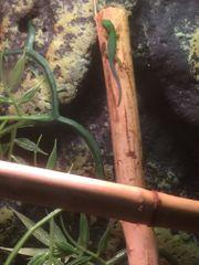 Phelsuma quadriocellata - Pfauenaugen Taggecko Jungtier