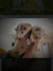 Frettchen suchen Zuhause - Alpenfrettchen Tierheim