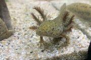 Axolotl helle Wildlinge Versand möglich