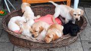 Goldige Labradorwelpen