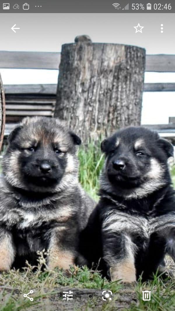 Schäferhund welpen