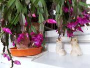 Kakteen -- große dekorative und