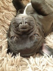 Französische Bulldogge Welpe