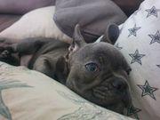 französische Bulldogge blau junge