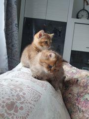 BKH BLH Highlander Kitten Kätzchen