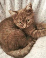 BKH chocolate smoke Kitten